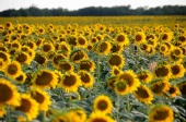 No One Famous - Sunflower Field