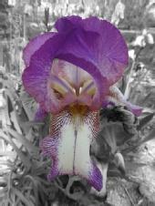 JFI - Purple lady